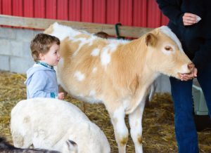 The Sterling Fair - child standing next to calf